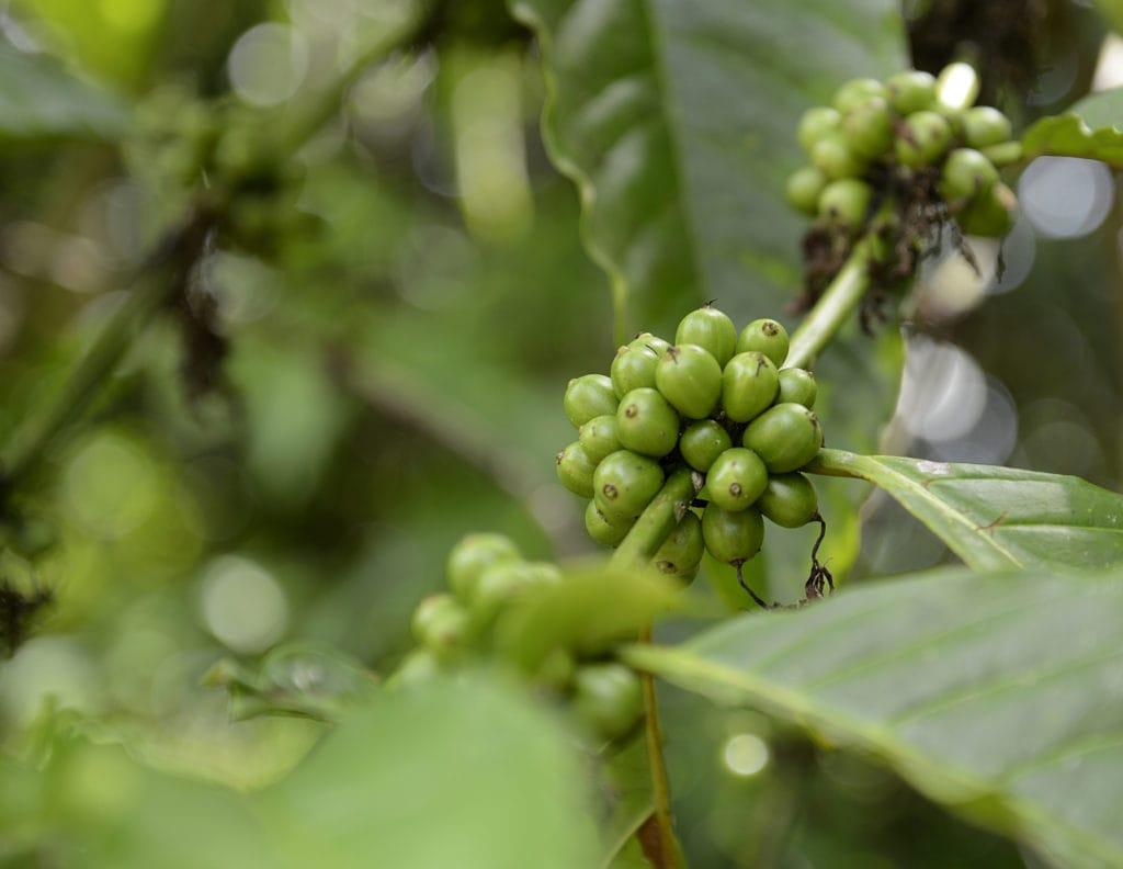 Garcinia cambogia vs green coffee extract