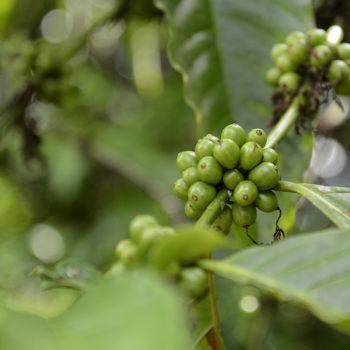 grüne Kaffee Bohne
